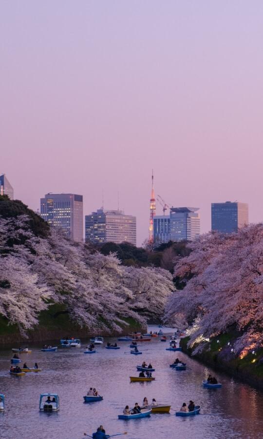 Sakura Flower in Japan