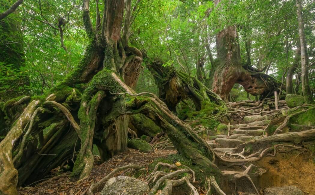 Forest of Yakushima Island in Japan