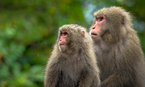 Monkeys in the forest of Yakushima Island in Japan